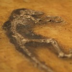 Ida Fossil - Click for CC attribution
